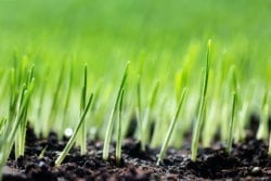 Wholesale Grass Seed Supplier